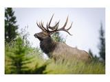 Antlered Bull Elk Banff Alberta Print