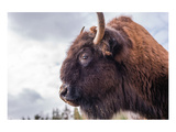 Bison Head With Cloudy Sky Prints