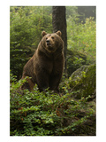 Brown Bear in a Green Forest Art