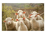Curious Flock of Sheep Plakater