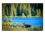 Bull Moose at Lake in Colorado Art