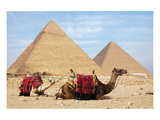 Camels and Pyramids Giza Egypt Print