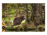 Beaver Closeup in the Forest Wydruk giclee premium
