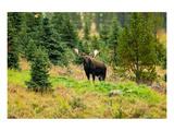 Bull Moose Kananaskis Canada Poster