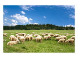 Flock of Sheep on Green Meadow Prints