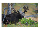 Big Bull Moose in Yellowstone Prints