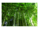 Bamboo Forest Posters