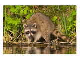 Adult Raccoon Hunting for Food Print