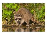 Adult Raccoon Hunting for Food Print