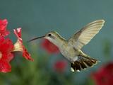 Broad Billed Hummingbird, Female Feeding on Petunia Flower, Arizona, USA Metal Print by Rolf Nussbaumer