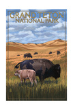 Grand Teton National Park - Buffalo and Calf Plakater af Lantern Press