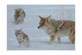 Coyote and Cubs Print by  Lantern Press