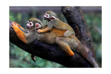 Squirrel Monkey and Baby Print by  Lantern Press