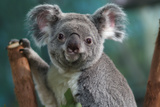 Koala Giclee-tryk i høj kvalitet af  Lantern Press