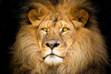 Primo piano di un leone Stampe di  Lantern Press