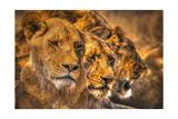 Lion Family Poster by  Lantern Press