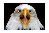 Eagle Face ポスター : ランターン・プレス