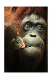 Orangutan and Baby Posters by  Lantern Press
