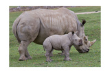 White Rhino and Baby Posters by  Lantern Press