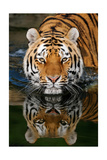 Tiger Reflection Art by  Lantern Press