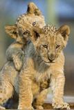 Lion Cubs Playing Prints by  Lantern Press