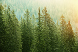 Green Coniferous Forest Lit by Sunlight Photographic Print by  zlikovec