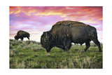 Bison and Sunset Posters by  Lantern Press
