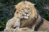 Lion and Cub Cuddle Plakater af  Lantern Press