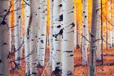 Aspen Forest Print by  Lantern Press