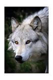 Wolf Face Plakater av  Lantern Press