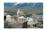 Mountain Goat Kids Posters by  Lantern Press