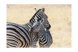 Zebra and Baby Print by  Lantern Press