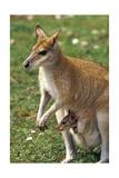 Kangaroo and Baby Kunst af Lantern Press