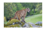 Mountain Lion Art by  Lantern Press