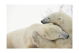 Polar Bears Hugging Prints by  Lantern Press