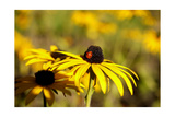 Black Eyed Susan and Ladybug Poster by  Lantern Press