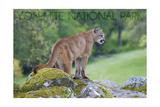 Yosemite National Park, California - Mountain Lion Posters by  Lantern Press