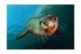 Seal Up Close Plakater af Lantern Press