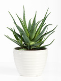 Isolated Aloe Vera Plant on White Pot Photographic Print by  Photology1971