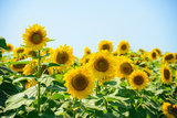 Field of Beautiful Bright Sunflowers against the Blue Sky. Summer Flowers Photographic Print by Maksym Protsenko