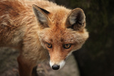 Red Fox (Vulpes Vulpes). Wild Life Animal. Photographic Print by  wrangel