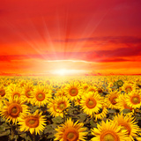 Field of Sunflowers and Sun in the Blue Sky. Stampa fotografica di  Ale-ks