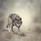 Portrait of Gray Wolf Walking Photographic Print by  abracadabra99