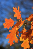 Oak Leaves Photographic Print by  jennyt