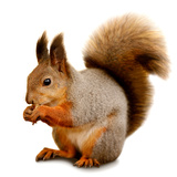 Eurasian Red Squirrel in Front of A White Background Photographic Print by  nelik