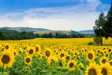 Sunflower Field Fotografisk tryk af  bazyuk