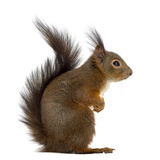Red Squirrel in Front of a White Background Photographic Print by Life on White