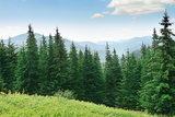 Beautiful Pine Trees on Background High Mountains. Photographic Print by  Serg64