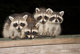 Four Cute Baby Raccoons on A Deck Railing Photographic Print by  EEI_Tony