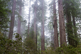 Redwood Trees Photographic Print by  wollertz